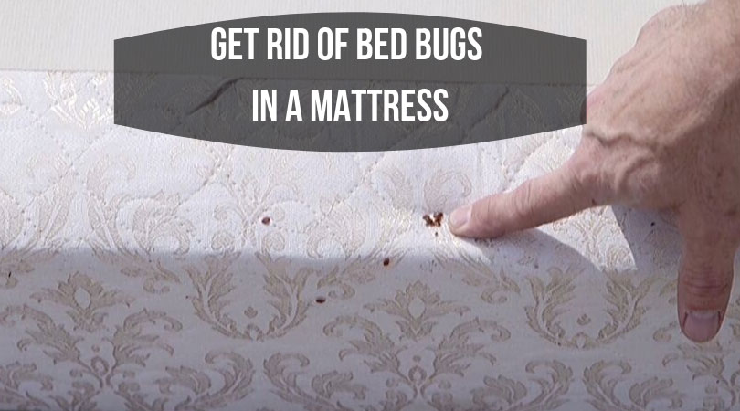 Get-Rid-of-Bed-Bugs-in-a-Mattress