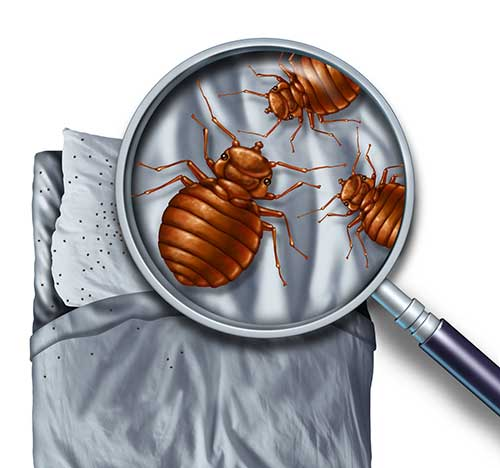 Getting-Rid-of-the-Bedbug